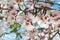 Stock Image : Almond Blossom