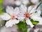 Stock Image : Almond flower