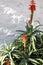 Stock Image : Aloe, century plant