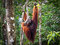 Stock Image : Alpha Male Borneo Orangutan at the Semenggoh Nature Reserve, Malaysia