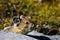 Stock Image : Alpine Pika
