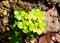 Stock Image : Alternate-leaved golden saxifrage (Chrysosplenium alternifolium)