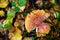 Stock Image : Amanita in autumn forest