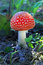Stock Image : Amanita muscaria