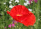 Stock Image :  Amapola roja en prado