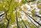 Stock Image : Amazing maple trees
