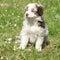 Stock Image : Amazing puppy of australian shepherd sitting in the grass