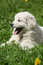 Stock Image : Amazing white puppy of Slovakian chuvach lying in the grass