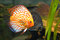 Stock Image : American cichlids
