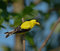 Stock Image : American Goldfinch