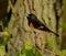 Stock Image : American Redstart