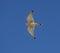 Stock Image : Amerykański kestrel w locie