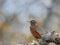 Stock Image : Amerykański rudzik