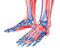 Stock Image : Anatomy of leg and foot