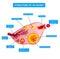 Anatomy of ovarian cycle