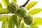 Stock Image : Annona squamosa