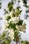 Stock Image : Apple tree white flowers