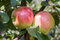Stock Image : Apples