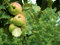Stock Image : Apples on tree