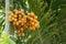 Stock Image : Areca fruits