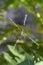 Stock Image : Argiope Spider