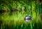 Stock Image :  Ascendente cercano del pato silvestre