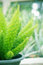 Stock Image : Asparagus Fern