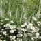 Stock Image : Aspen fleabane, Erigeron speciosus Sommerneuschnee
