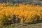 Stock Image : Aspen Grove in Autumn