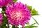 Stock Image : Aster flower