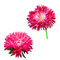 Aster. Pink flower, Spring flower. Isolated on