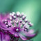 Stock Image : Astrantia close-up