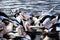 Stock Image : Australian Pelicans Feeding