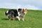 Stock Image : Australian Shepherd and American Collie