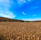 Stock Image : Autumn Corn field in Pocono Mountains .