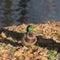Stock Image : Autumn duck