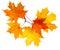 Stock Image : Autumn maple leaves isolated on white background