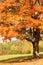 Stock Image : Autumn Maple Tree