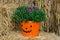 Stock Image : Autumn mum plant in pumpkin basket