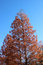 Stock Image : Autumn tree background in japan, saitama, J