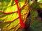 Stock Image : Backlit mangold leaf