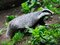 Stock Image : Badger