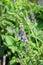 Stock Image : Baikal Skullcap (Scutellaria baicalensis)