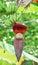 Stock Image : The banana blossom