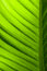Stock Image : Banana leaf texture
