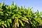 Stock Image : Banana tree