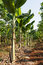 Stock Image : Banana tree plantation in nature