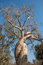 Stock Image : Baobab Amoureux, two baobabs in love, Madagascar