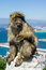 Stock Image : Barbary Macaque