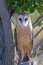 Stock Image : Barn Owl